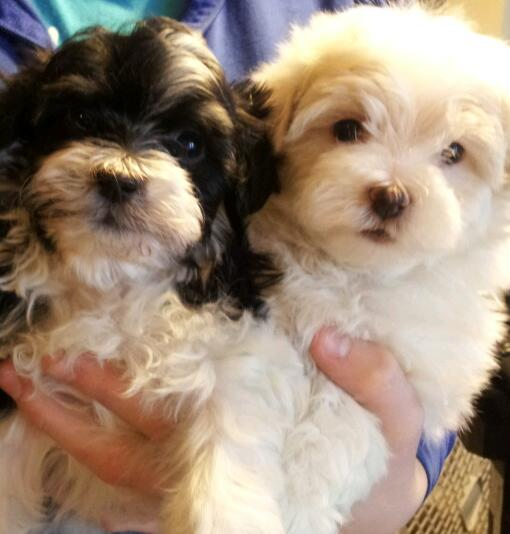 Havanese puppies male and female