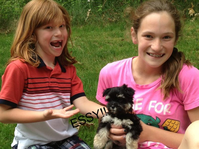 Family pet black and silver point havanese