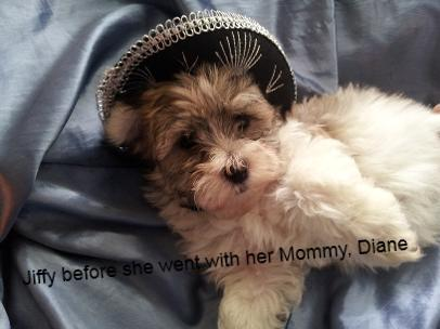Lil Havanese female sable