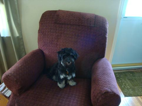 Black with silver point male havanese