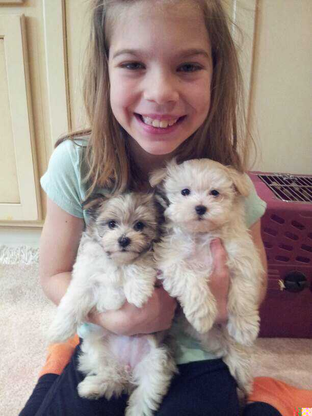 Two beautiful havanese puppies