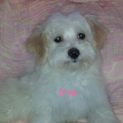White and cream Havanese female